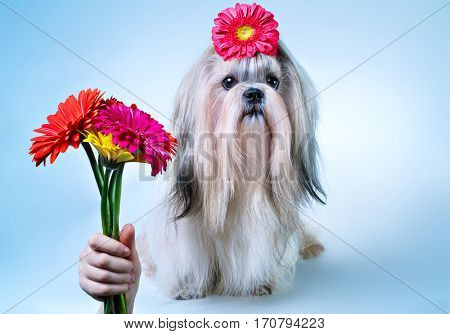 Shih-tzu dog with bouquet of flowers holiday concept. On blue and white background.