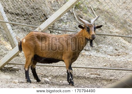 Image of a brown goat on nature background. Farm Animals.