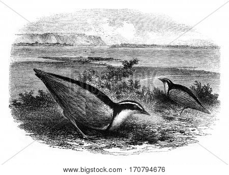 The Trochilus, Charadrius Aegyptus, vintage engraved illustration. Magasin Pittoresque 1845.