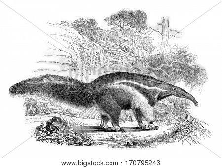 Anteater, vintage engraved illustration. Magasin Pittoresque 1844.