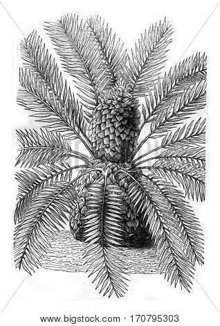 Zamia pungens, with its fruit at the top of the throne, vintage engraved illustration. Magasin Pittoresque 1844.