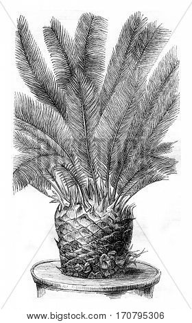 Cycas revoluta, with buds between the leaf axils, vintage engraved illustration. Magasin Pittoresque 1844.