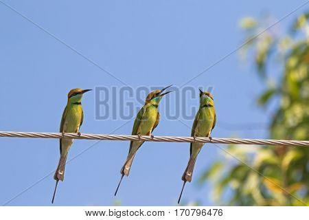 Three Green Bee eater birds in yellow green perching on steel cable against blue sky in Thailand