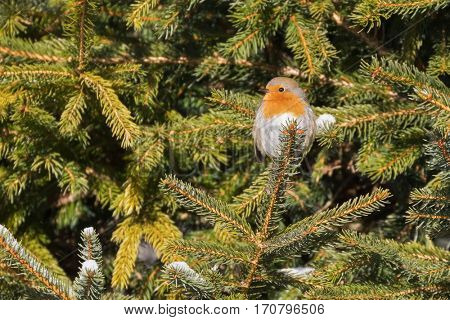 Tiny European robin redbreast bird sitting on pine tree branch all alone. Winter in Austria, Europe (Erithacus rubecula)