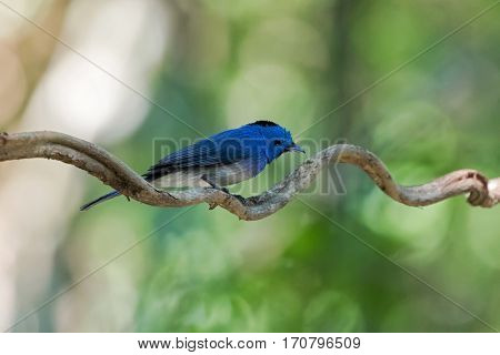 Wet Male Black-naped monarch, blue flycatcher bird with black patch and gorget perching on vine after bath with blurred forest background in Thailand (Hypothymis azurea)