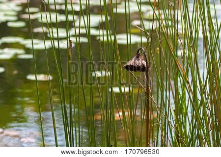 Drooping brown lotus seed pod hanging downward all alone in the pond. Conceptual photo for loneliness