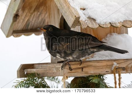 Male Common blackbird bird in black with albino grey white feather, yellow eye ring perching on wooden bird feeder in Austria, Europe (Turdus merula)