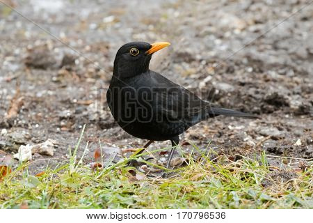 Male Eurasian Blackbird, Common Blackbird with yellow eye ring foraging grass for food in Austria, Europe during winter time (Turdus merula)