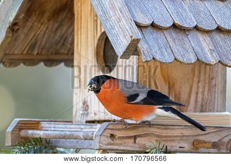 Male Eurasian Common Bullfinch with beak full of nut seed on wooden bird feeder in Austria, Europe. Bullfinch is passerine bird in red orange black gray perching  (Pyrrhula pyrrhula)