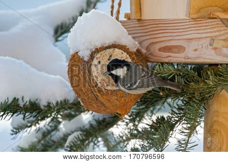 Coal tit, small passerine bird in yellow grey with black white nape spot on head, perching on coconut shell suet treats made of fat, sunflower seeds during winter in Europe (Periparus ater)