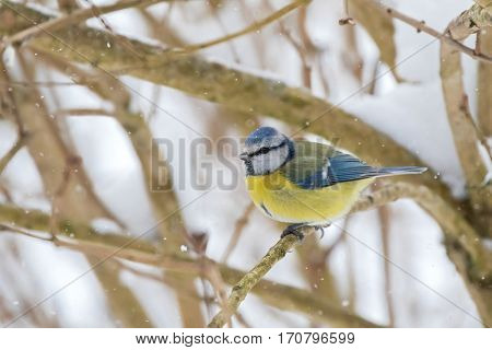 Cute little Eurasian Blue Tit bird in blue yellow sitting on tree branch all alone while snowing during winter in Austria, Europe (Parus Caeruleus, Blaumeise)