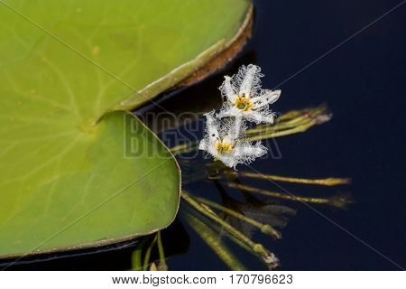 Closeup white flower of Water snowflake (Nymphoides indica) aquatic plant growing in pond,Thailand