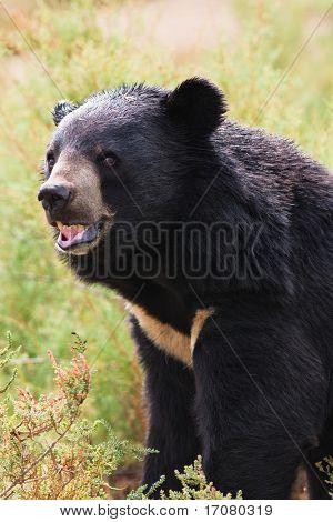 tibetan bear roar ferocity in nature