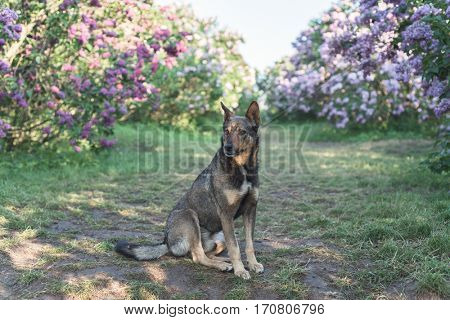 Homeless dog sitting on lawn. Botanical garden with shrubs blossoming lilac