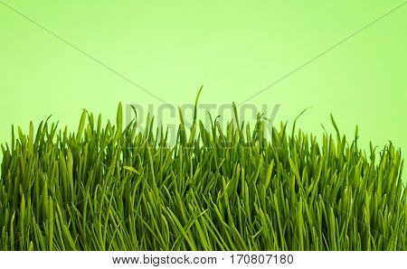 Fresh Spring Grass Close Up Low Angle Over Green