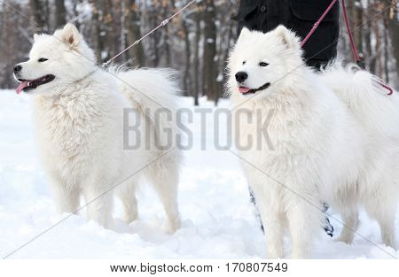 Cute samoyed dogs with owner in park on winter day