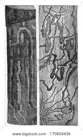 Pissodes pini larvae galleries and doll cradles a left on the trunk itself, right, has the right, on the inner side of the bark, vintage engraved illustration.