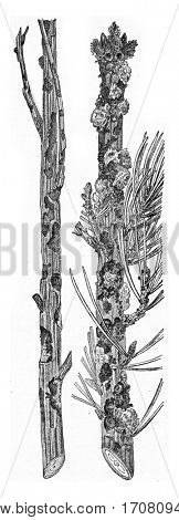 Larch and pine strongly attacks the last Abiet Hylobius present a strong flow Whitewood, vintage engraved illustration.