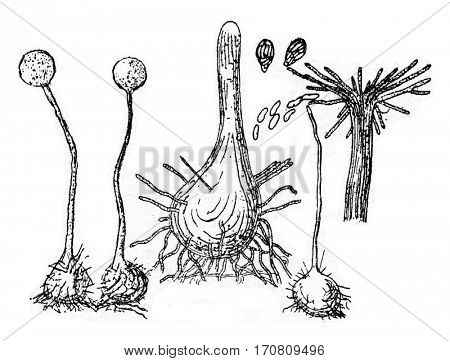 Fruiting device (perithecium) of the fungus, vintage engraved illustration.