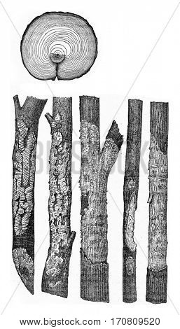 Cross section of pine trunk presented with an injury due to an animal, Traces left by voles, vintage engraved illustration.