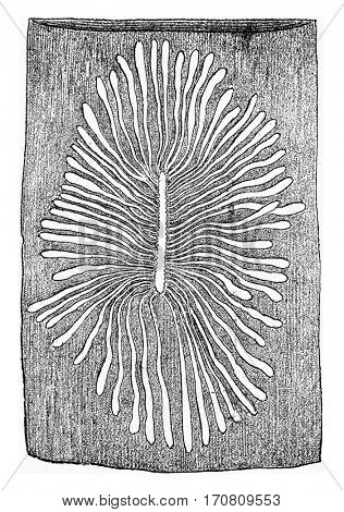 Scolytus multistriatus, egg gallery and larval galleries in the sapwood of elm, vintage engraved illustration.