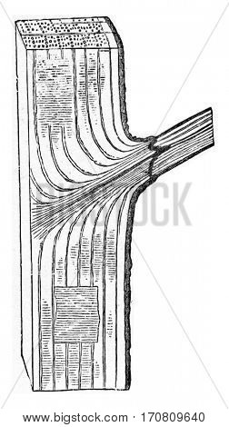 Oak trunk portion of which one branch is about to detach the normal process, vintage engraved illustration.