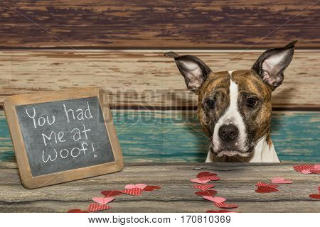 An American Staffordshire bull terrier on Valentine's Day