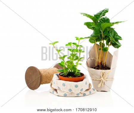 Peperomia (radiator plant) seedling and coffee plant tree on white background.