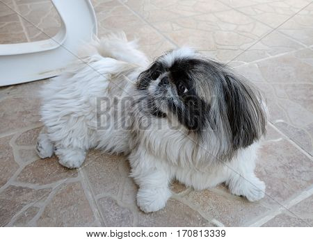 Home Pekingese breed dog lying on the floor