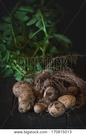 Young Potatoes With Soil