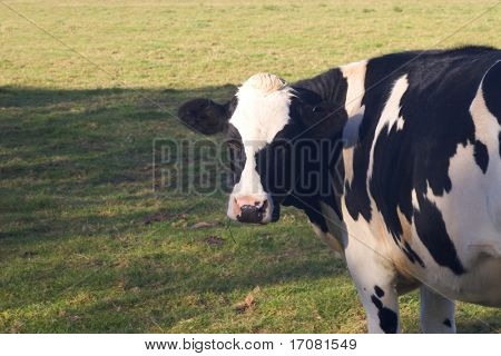 A Fresian dairy cow in an English field