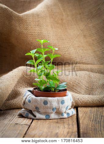 Peperomia (radiator plant) seedling on wooden background.