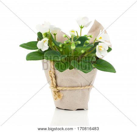 white Saintpaulia flowers seedling on white background
