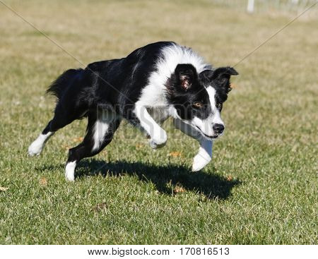 Border collie dog charging across the grass at the park