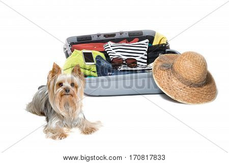 Studio shot of Yorkshire Terrier lying in front of a suitcase packed with clothes straw hat and a smart phone. Everything is on a white background.