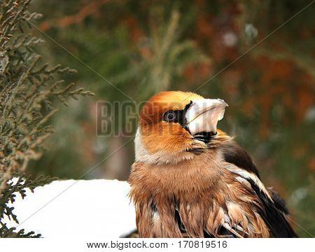 Grosbeak a little birdie with a strong beak