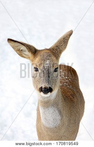 Portrait of a young roe against the background of snow