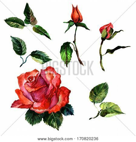 Wildflower rose flower in a watercolor style isolated. Full name of the plant: rose, hulthemia, rosa. Aquarelle wild flower for background, texture, wrapper pattern, frame or border.