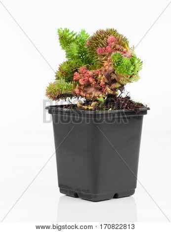 Sedum is a large genus of flowering plants in the family Crassulaceae.