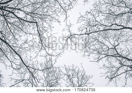 Abstract Frozen Tree Branches. Nature Winter Background