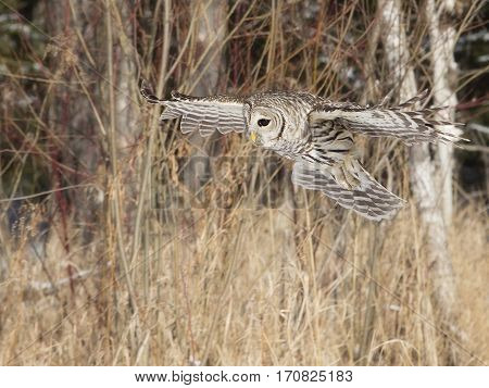 Barred owl in flight, hunting for prey