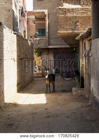 Two donkeys stand in a dusty alleyway in the city of Cairo Egypt.