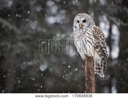 Close up image of a barred owl perched on a tree with falling snow
