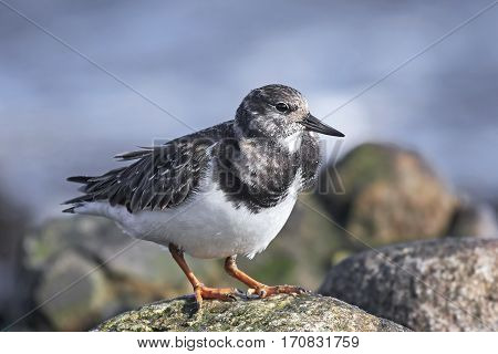 Ruddy turnstone standing on a rock in its habitat