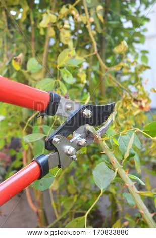 Rose pruning in late autumn. Prune Climbing Roses. How to Prune Roses Bush.