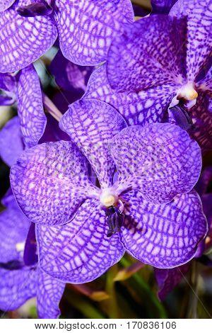 Puple Vanda Orchid.