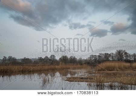 Massive Starling Murmuration Over Somerset Wetlands Lake Landscape In Autumn Winter