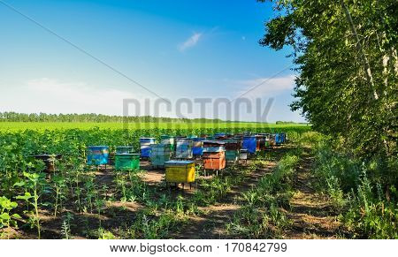 Beehives boxes in the field of honey plants.