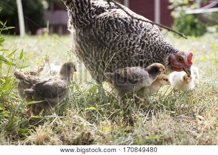 Belarus-July 3 2016 Chicken called her chicks to feed them chickens gathered around the mother hen Chicken feed their chicks grass and berries