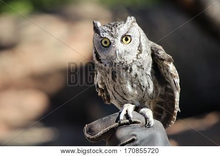 Closeup of screech owl on gloved hand